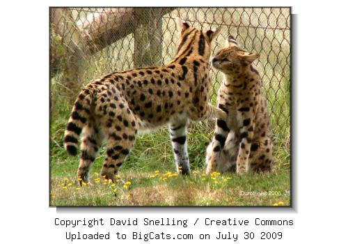 Two Servals at BigCats.com