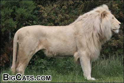 White Lion at BigCats.com