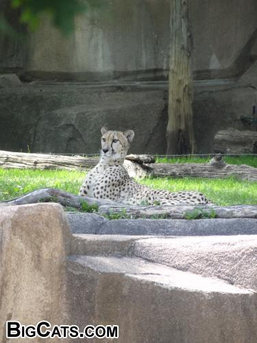 Cheetah at Milwaukee County Zoo
