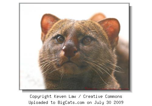 Jaguarundi - Rare Species Conservation Centre, Kent, England