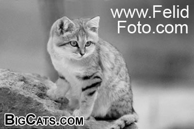 sand cat - FelidFoto.com at BigCats.com
