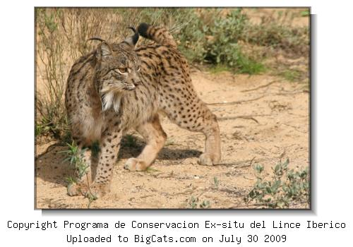Spanish Lynx Profile at BigCats.com