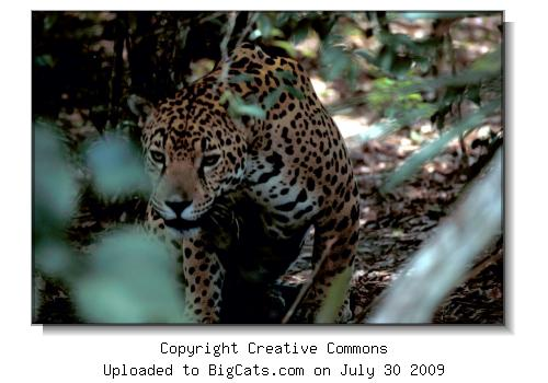 Jaguar in Belize / U.S. Fish and Wildlife Service