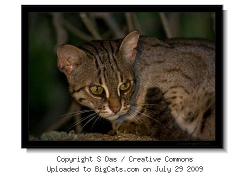 Rusty-spotted cat, Chamundi Hills, Mysore, KA, INDIA