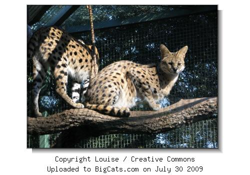 Serval in Tree