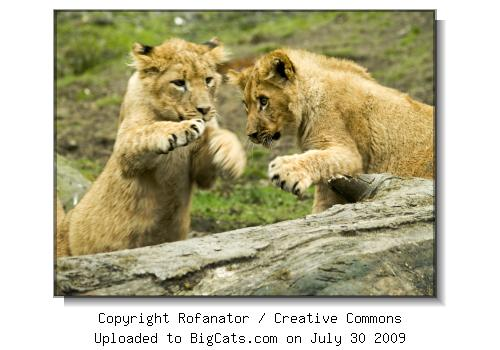 Lion Cubs at Knowsley Safari Park at BigCats.com