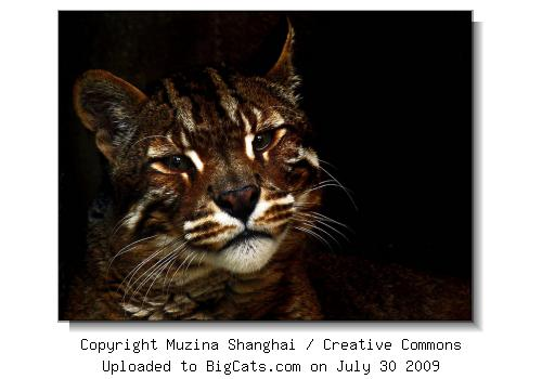 Asiatic Golden Cat Closeup