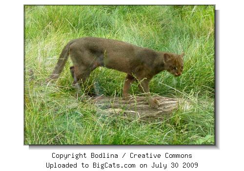 Jaguarundi at Prague Zoo at BigCats.com
