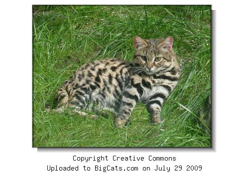 Black-footed cat in grass.