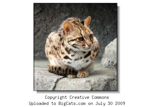 Leopard Cat at BigCats.com