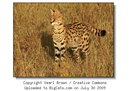 Serval in the Mara