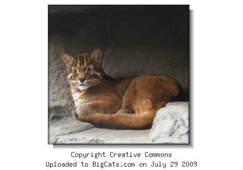 Asiatic Golden Cat in Shallow Cave