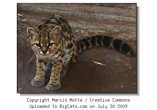 Margay / Tail