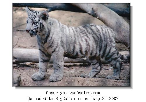 White Tiger Cub - Stretching Out