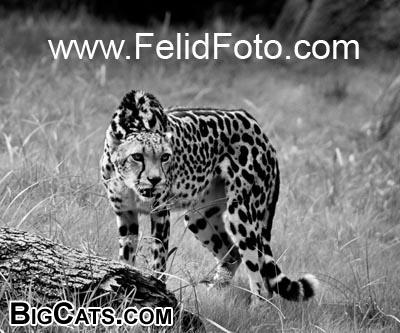 king cheetah - FelidFoto.com