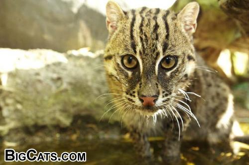 Fishing cat (Prionailurus viverrinus) female - RSCC (rarespeciesconservationcentre.org)