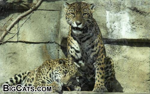 Jaguar Cub Lucha 8 Months Old And Mother