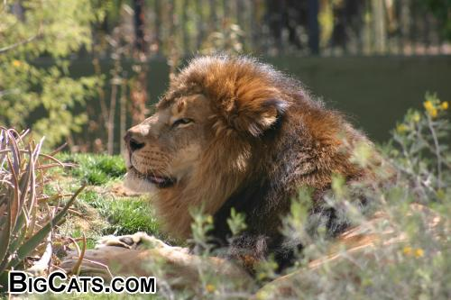 Male Lion in the Sun (Phoenix Zoo) at BigCats.com