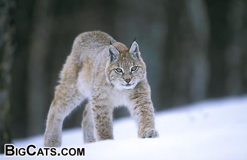 European Lynx in the woods