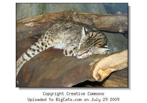 Geoffroy's Cat at Cincinnati Zoo and Botanical Garden
