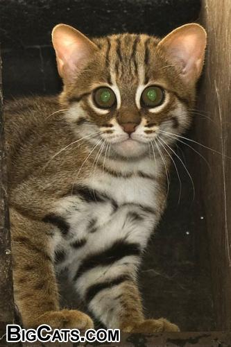 Pictures Of Rusty Spotted Cat Prionailurus Rubiginosus