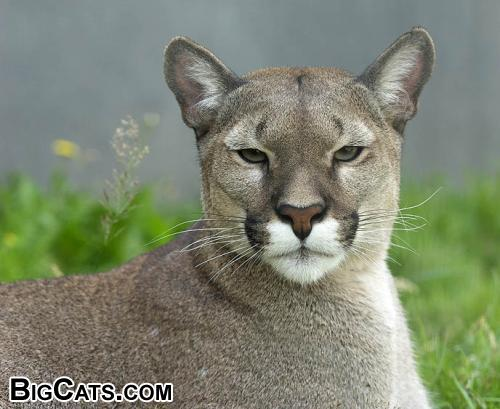 Puma (Puma concolor) - RSCC (rarespeciesconservationcentre.org)