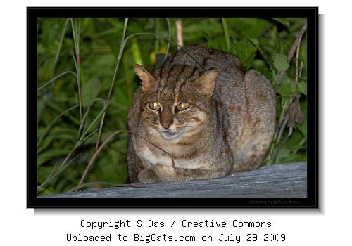 Rusty Spotted Cat, Mysore KA India