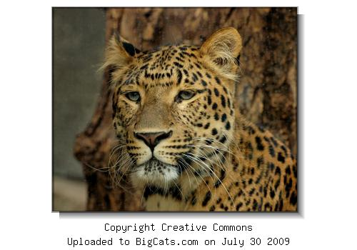 North China leopard (Panthera pardus japonensis) from the zoological garden of the Jardin des Plantes in Paris.