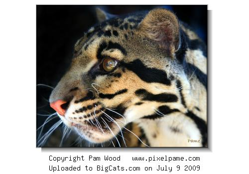 Clouded Leopard profile