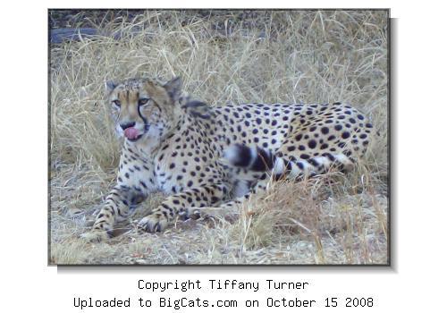 457c932108eb Picture of De Widlt Cheetah Park