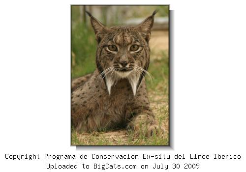 Spanish Lynx Portrait