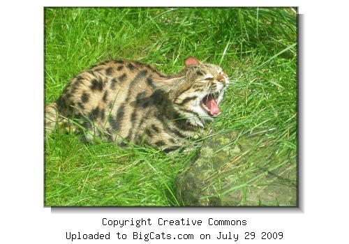 Black-footed cat at Zoo Wuppertal Germany