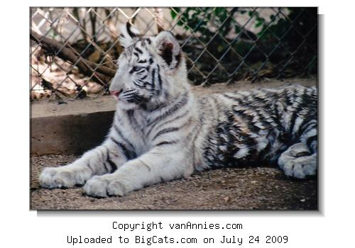 White Tiger Cub - All Wet