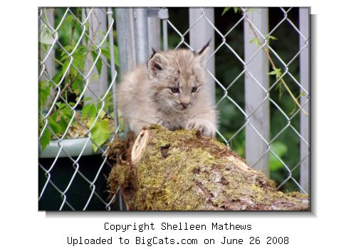 Lynx at the Wild Felid Advocacy Center of Washington