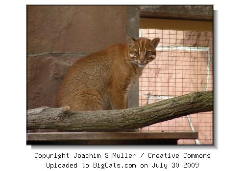 Temmincki's Golden Cat