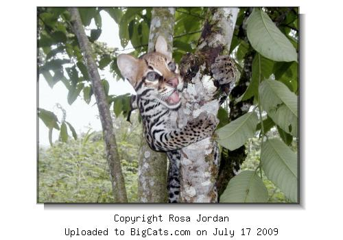 Margay in tree at the Playo de Oro Reserve in Ecuador