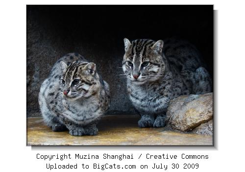Two Fishing Cats