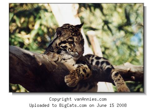 Clouded Leopard at the Phoenix Zoo