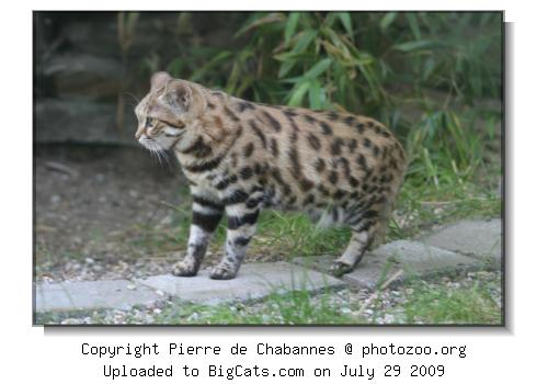 A black-footed cat in the zoo of Wuppertal.