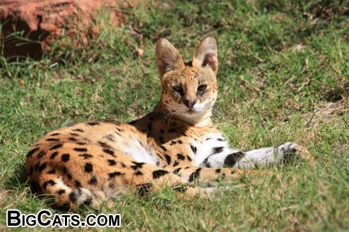 Serval at Rest at BigCats.com