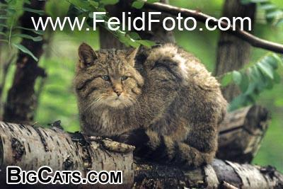 european wildcat - FelidFoto.com at BigCats.com
