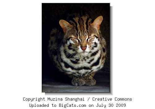 Leopard Cat Closeup