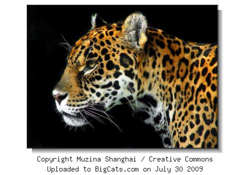 Jaguar Profile