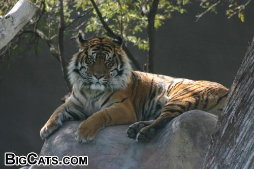 Tiger on Rock (Phoenix Zoo)