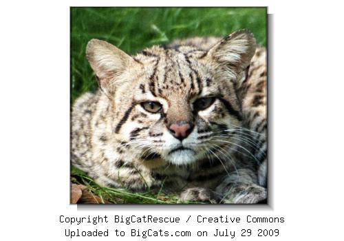 Saratoga the Geoffroy Cat