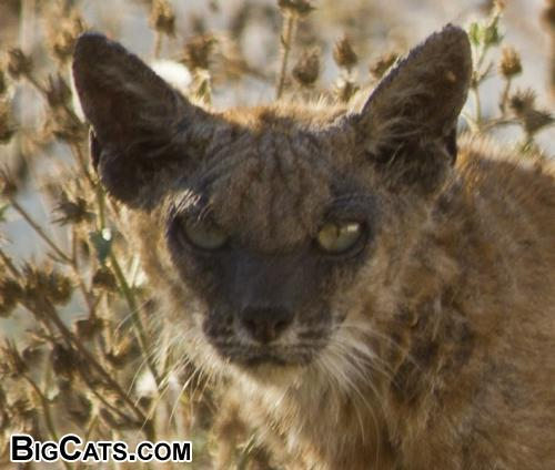 Close Up of Wild Cat taken in my backyard, Scary!!