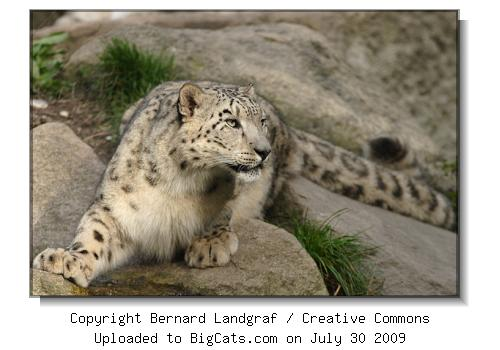 Snow Leopard at BigCats.com
