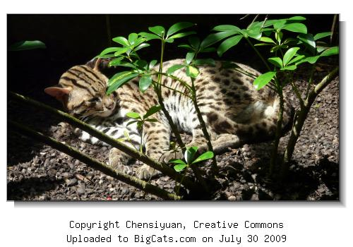 Leopard Cat, Singapore Zoo